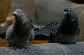 Pigeons-drdolittle
