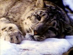 SomebodyComeandPlay.Snowleopards