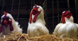 Eyelids-chickens-m11