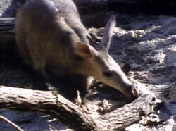 Aardvark edited