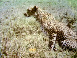 Film-Leopard