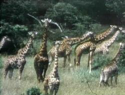 0316 giraffes