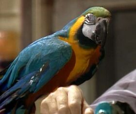 Macaw-fragglerock