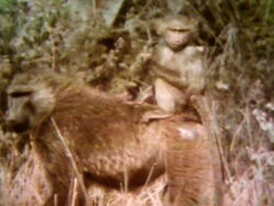 Film-Baboon&Baby