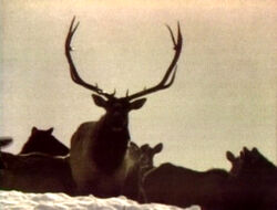 ElkFeeding