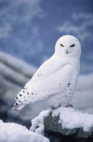 File:Snowy Owl.jpg