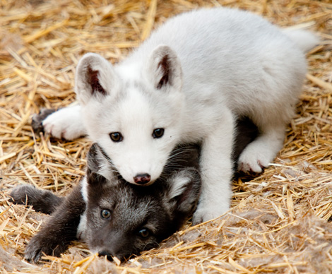 File:Fox Pups.jpg