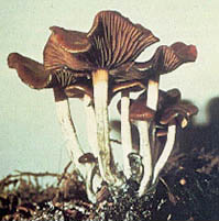Psilocybe cyanescens | Mycology Wiki | FANDOM powered by Wikia