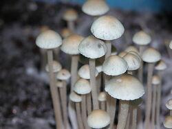 Panaeolus cyanescens