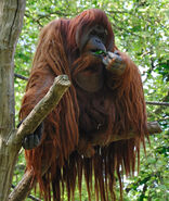 Orangutan -Zoologischer Garten Berlin-8a
