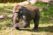 Lightmatter silverback gorilla