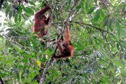 Leuser-orangs 09N8683