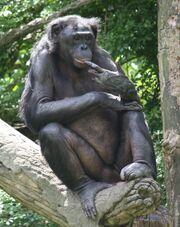 Bonobo 0155