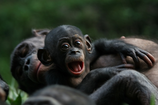 File:Bonobo-apes.jpg