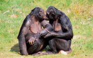 Bonobos 2702691c