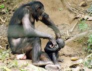 Bonobo (Pan paniscus) at Lola Ya Bonobo - 3
