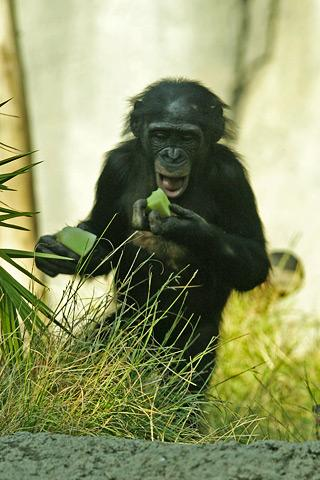File:Lightmatter chimpanzee2.jpg
