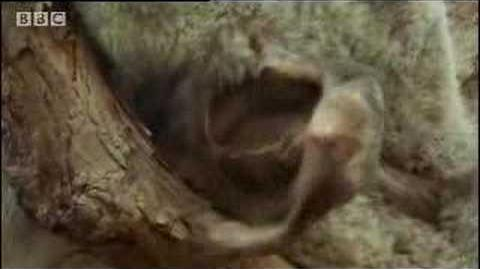 Cute and cuddly! Koala bears eat and then sleep all day long! - BBC wildlife