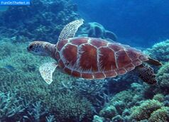 Great-barrier-reef-turtle1