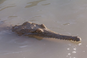 Crocodylus-johnstoni-2