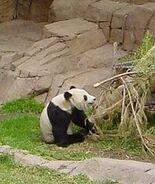 200px-Panda eating Bamboo