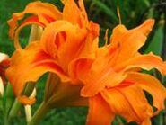 212px-Orange Daylily