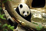 220px-Lightmatter panda