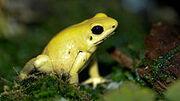 220px-Golden Poison dart frog Phyllobates terribilis