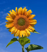 250px-Sunflower sky backdrop