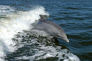 Bottlenose Dolphin KSC04pd0178