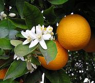 OrangeBloss wb