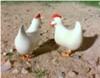 Bulgy's Hens