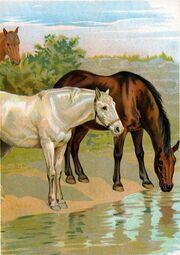 Pferde trinkend