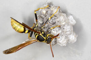 Aldur-800px-Wasp building nest