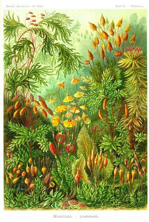 Haeckel-275-Tafel 072 300