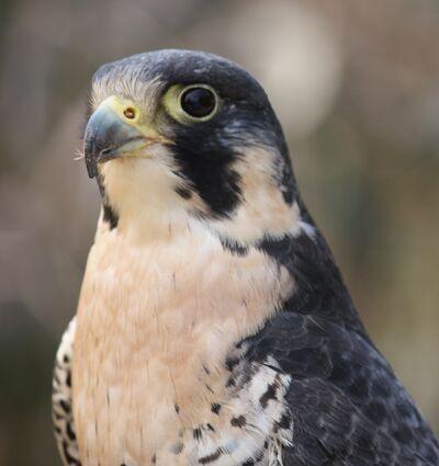 Wander - Falcon 12