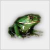 Hidden-frog