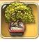 Oak-bonsai