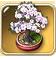 Sakura-bonsai