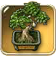 Rubber-plant-bonsai