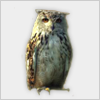 Hidden-owl