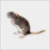 Hidden-rat2