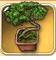 Pine-bonsai