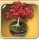 Momoji-bonsai