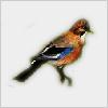Hidden-jaybird