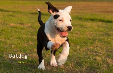 Batdog breed information