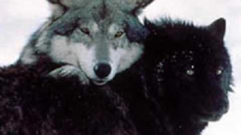 Wolf Love is the Love of a Lifetime! video request