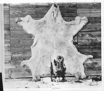 Гигантский белый медведь Аляски1