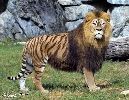 A picture of a liger