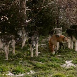 Волки помогают Белой Колдунье